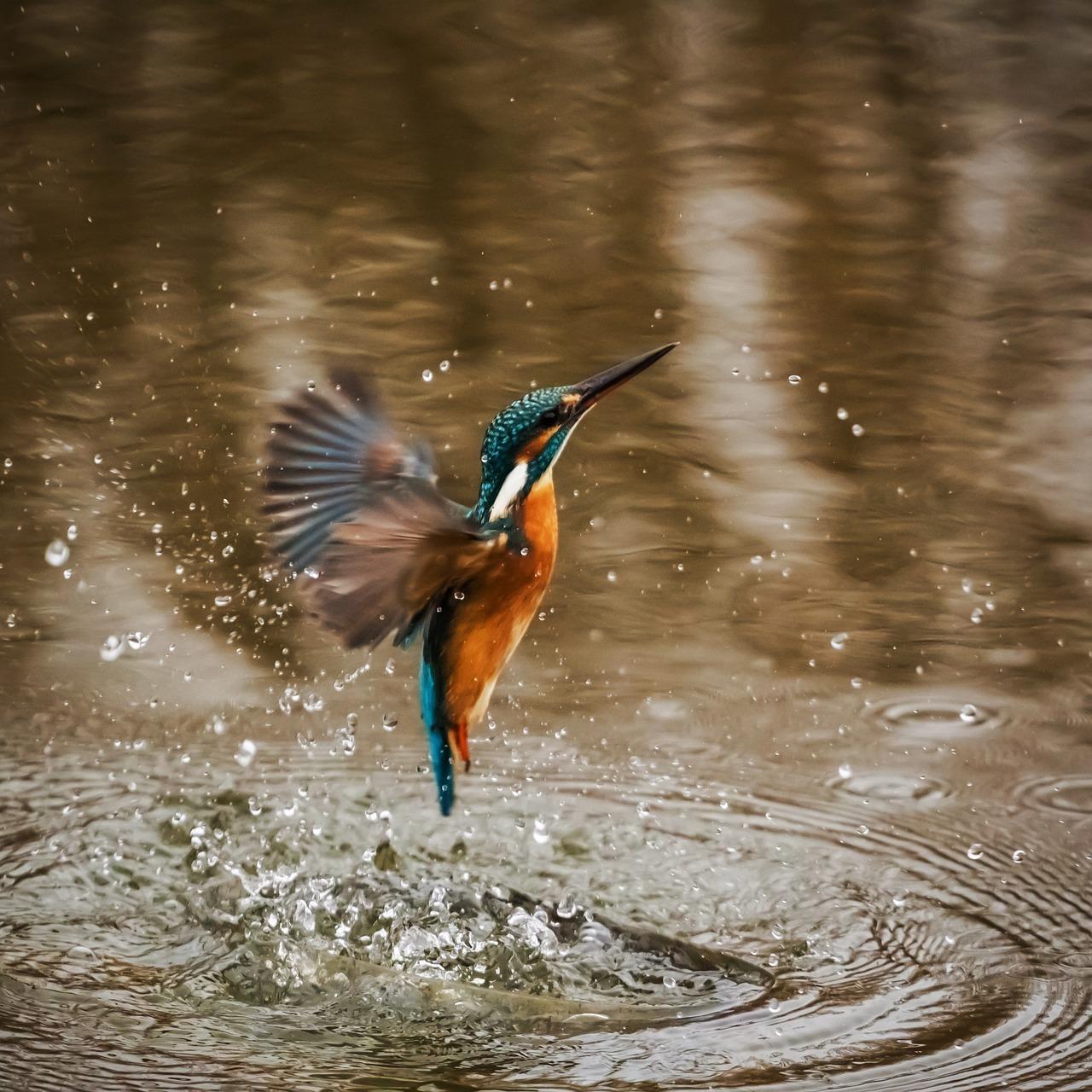 kingfisher-1068684_1280