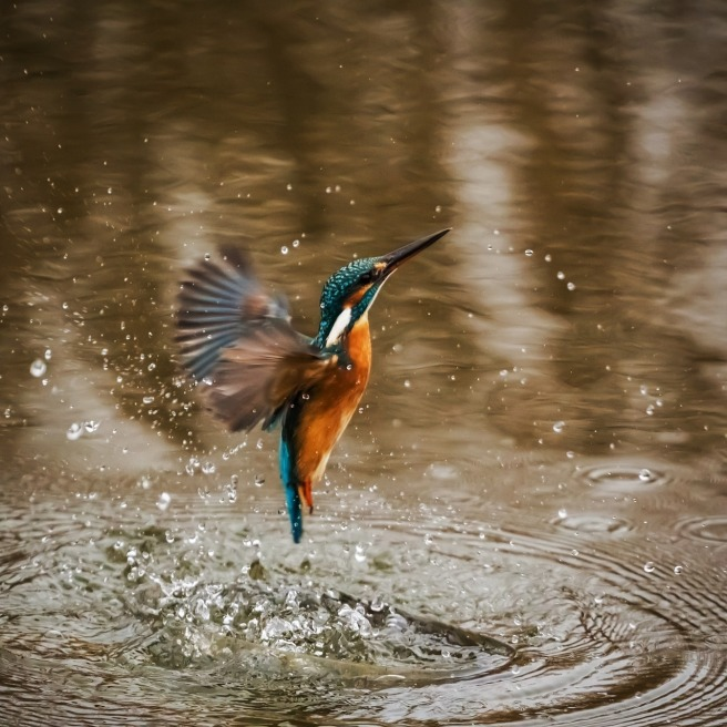 kingfisher-1068684_1280