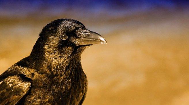 common-raven-4010290_1280